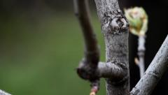 Spring is getting closer,  Pear tree buds In spring Stock Footage