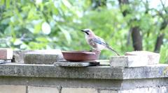 Bird drinks from bird bath. Stock Footage