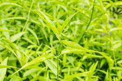 King of bitter herb - andrographis paniculata. Stock Photos