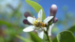 European Honey Bee collecting pollen Stock Footage
