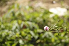 Pink flora split focus of background Stock Photos