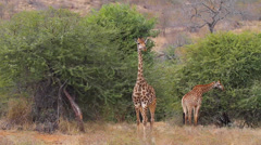 Clear wide shot of 2 giraffes. One posing for the camera Stock Footage