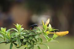 vespa tropica on yellow allamanda - stock photo