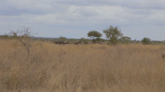 a wide shot a group of Blue wildebeest and zebras - stock footage