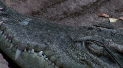 Crocodile head with ants Stock Footage