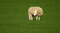 A Lamb Suckles from His Mother as She Eats Grass Stock Footage