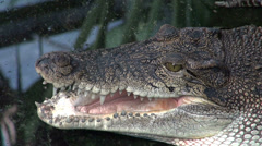 Crocodile head in the water stand still Stock Footage