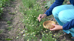 Woman in blue pick chamomile herbal flower blooms to wicker dish Stock Footage