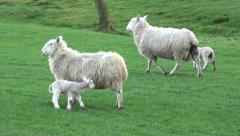 Ewes and Lambs Walking Together Stock Footage