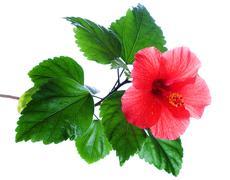Hibiscus rosa-sinensis red Stock Photos