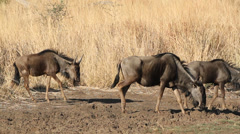 Blue wildebeest - stock footage