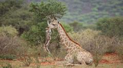 Giraffe resting Stock Footage