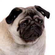 Muotokuva mopsi koira Kuvituskuvat
