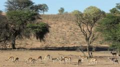 Springbok antelopes feeding Stock Footage