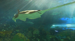 A sawtooth shark swims with tropical fish - stock footage