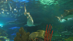 Large Sharks swim among colorful schools of tropical fish - stock footage