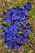 Flower - Gentiana verna L. Stock Photos