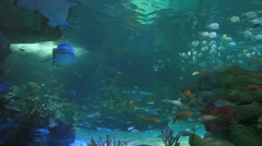 Schools of tropical fish with sharks cruising through - stock footage
