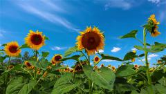 flowering sunflowers. 4K. FULL HD, 4096x2304. - stock footage