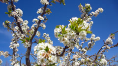 Almond tree flowers Stock Footage