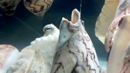 Stock Video Footage of An Octopus in Aquarium