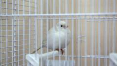 White canary bird in the cage Stock Footage