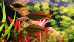 Aquarium fishes and green water plants Stock Footage
