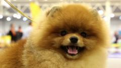 Pomeranian spitz. Decorative dog breed Stock Footage