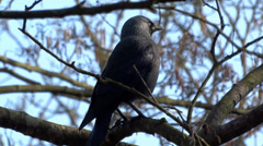 House Crow (Corvus splendens) - stock footage