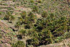 Gran canaria canary palm tree mountains  canariensis Stock Photos