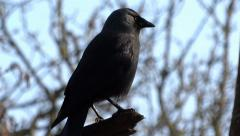 Stock Video Footage of House Crow (Corvus splendens)