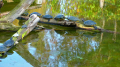 Turtles on the Green Lake Stock Footage
