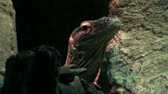 The Komodo dragon (Varanus komodoensis) Stock Footage