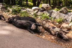 Wild boars in forest ,corsica in the france,europa Stock Photos