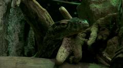 The Komodo dragon head(Varanus komodoensis) Stock Footage