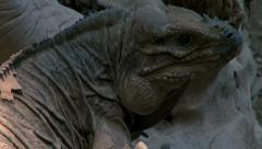 The rhinoceros iguana (Cyclura cornuta)rises on a tree trunk Stock Footage