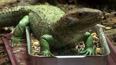 Caiman lizard Stock Footage