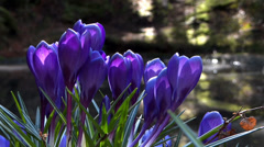 Stock Video Footage of Blue Crocus & Forest Pond - Spring Flowers - 134 - Close Loop