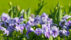 Spring flowers pansy Stock Footage