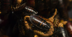Hissing cockroaches in a pile 4k Stock Footage