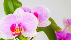 Pink orchid flowers rotate, on white background, filmed in raw Stock Footage