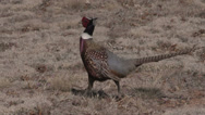 Stock Video Footage of Rooster Pheasant