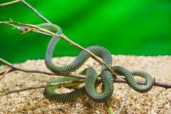Green snake in terrarium - stock photo