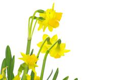 Stock Photo of narcissus