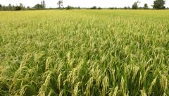 Thai Jasmine Rice paddy field in Thailand. Stock Footage