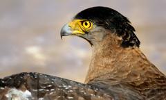 Portrait of a Golden Eagle - stock photo