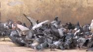 Stock Video Footage of A lot of pigeons, doves
