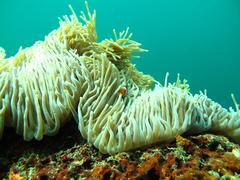 Sea Anemone Stock Photos