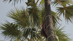 BAGAN, MYANMAR - Coconut picker comes down from palm tree wit Stock Footage