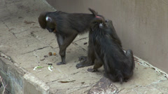 Paired mandrill monkey who clean each other the fur Stock Footage